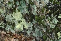 Lichen in forest, Hot Springs National Park