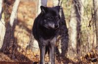 Black wolf, Triple D Game Park
