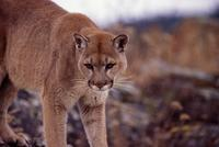Mountain lion, Triple D Game Park