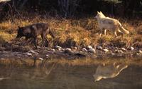 Wolves along the river