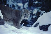 Mountain lion in snow (in shadows)