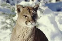 Mountain lion in snow (bright sunlight)