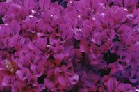 Bougainvillea at equator