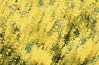Multiple exposures of gorse