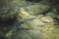 Trout in stream near Vancouver