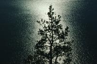 Tree silhouette against Lake Okanagan