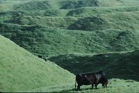 Cows and hills