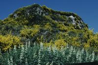 Gorse and foxgloves