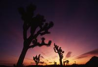 Sunrise and Joshua trees