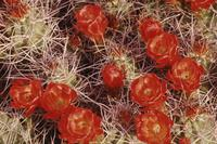 Red cactus flower abstracts