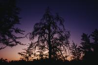 Manito Ahbee : Trees silhouetted against purple and golden sunset