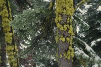 Yellow moss on trees