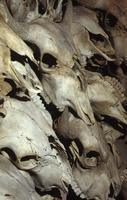 Buffalo skulls on display