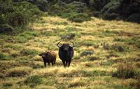 Water buffalo portraits at Mount Kenya