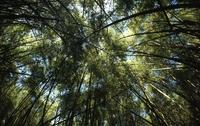 Bamboo forest on Mount Kenya