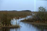 Egrets and fishermen