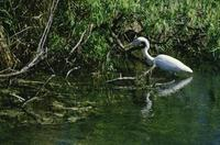 Roadside pond and great white heron