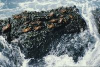 Red crabs scurrying on a black rock