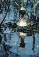 A horned grebe in the water