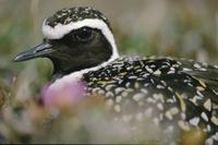 Close-up of an American golden plover