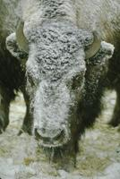 Buffalo in snowstorm - close-up of adult with snow-covered head