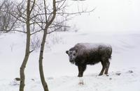 Buffalo in snowstorm (at Tex Lamb's)