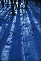 Shadows of poplar trunks on granular snow
