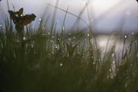 Sunrise, grass and dewdrops