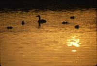 Ducks on Clarence Avenue at sunset