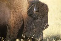 Single buffalo on prairie