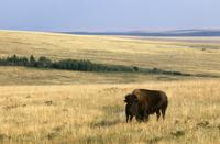 Buffalo on prairie with blue sky