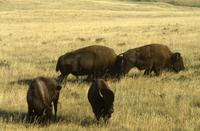 Group of buffalo grazing