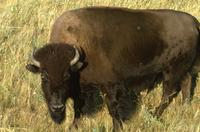 Buffalo on prairie