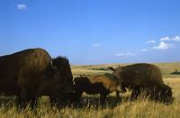 Group of buffalo, blue sky, white clouds