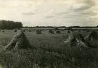Cutting Oats, Wheat Stooks in Foreground