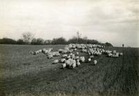 Sheep at Carlyle, Saskatchewan