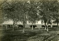 Cattle at Government Farm, Indian Head