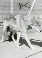 Timber Wolf At Moose Jaw Wild Animal Park