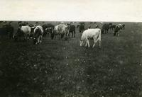Cattle Near Wilkie, Saskatchewan
