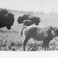 Close-up of buffalo