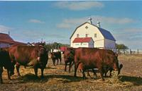 The Dual-Purpose Herd of Red Poll Cattle