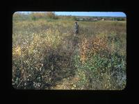 Middleton Camp Trenches-Cleared for Breaking  Batoche, Sask Oct.1-1948