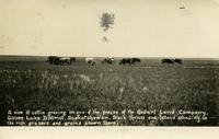 A view of cattle grazing on one of the pieces of the Godart Land Company, Goose Lake District, Saskatchewan.