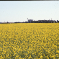 CSP Plant Nipawin across field of canola