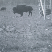 Buffalo at West Gate