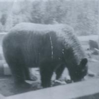 Bear at garbage