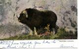 A Musk Ox Western Canada